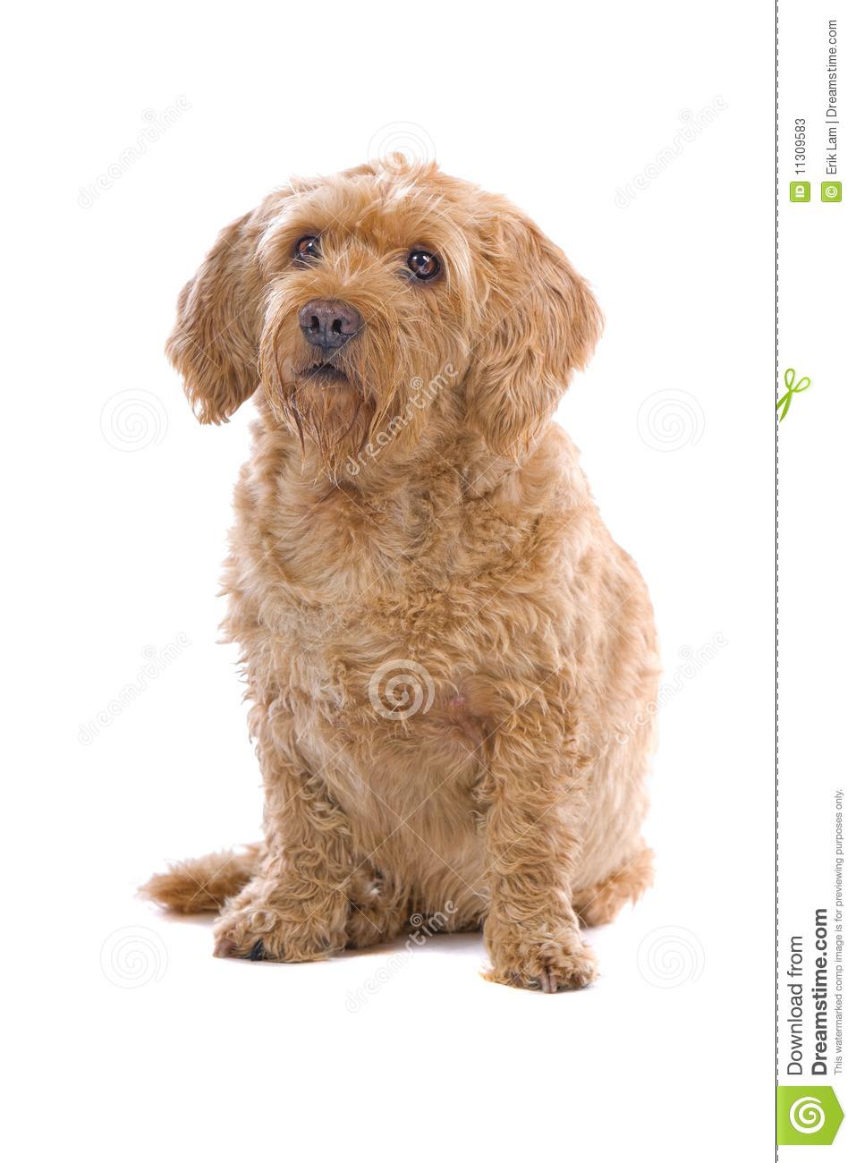Fawn Brittany Griffon Dog Stock Photos.