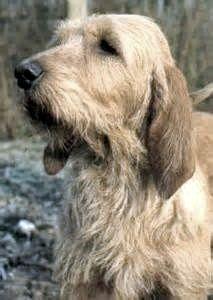 Griffon Fauve de Bretagne.