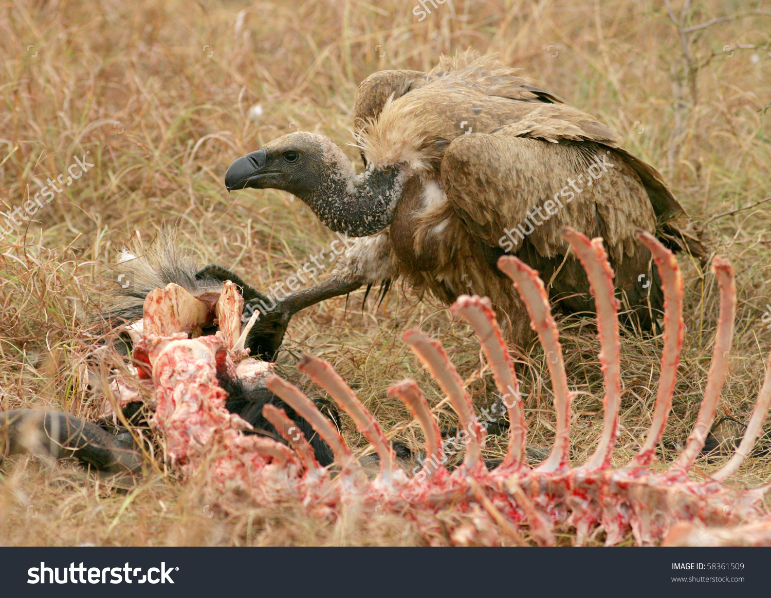 Ruppells Griffon Vultures Gyps Rueppellii On Stock Photo 58361509.