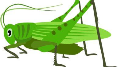 Grasshopper clipart grillo, Grasshopper grillo Transparent FREE for.