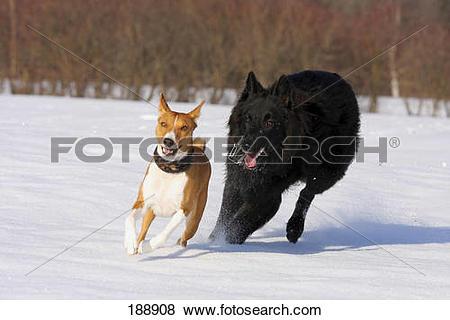 Pictures of Basenji and Belgian Shepherd Dog, Groenendael running.