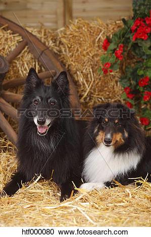 Stock Photography of Sheltie, Shetland Sheepdog and Groenendael.