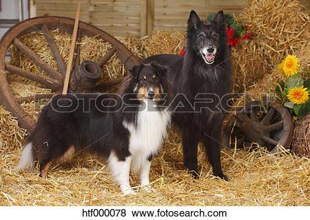 Pictures of Sheltie, Shetland Sheepdog and Groenendael, Belgian.
