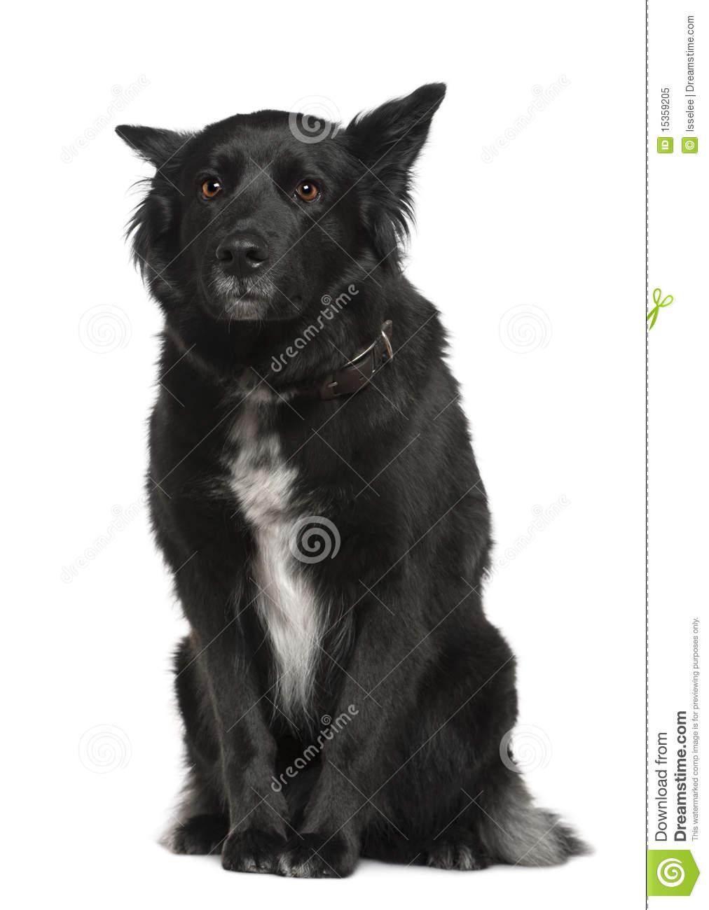 Belgian Shepherd Dog, Groenendael, Sitting Royalty Free Stock.