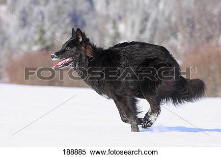 Stock Image of Belgian Shepherd Dog, Groenendael. Black adult.
