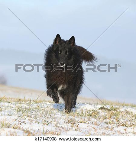 Pictures of Six years old Groenendael running in winter k17140908.