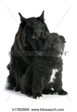 Stock Image of puppy and adult groenendael k17833955.