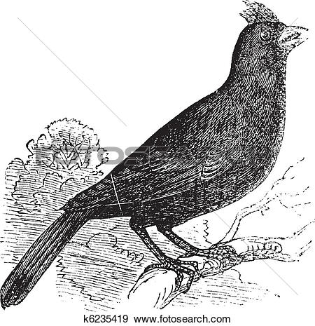 Clip Art of Cardinalis Virginianus or Cardinal of Virginia or.