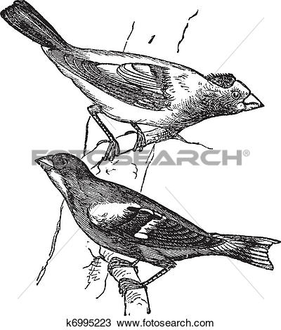 Clipart of Evening grosbeak (Hesperiphona vespertina) or Finch 1.