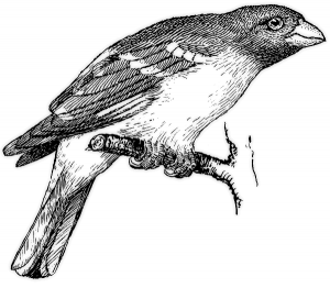 Grosbeak BW Clip Art Download.