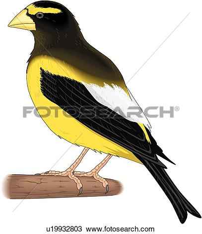 Clipart of Evening Grosbeak u19932803.