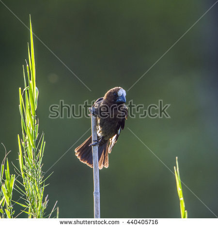 Grosbeak Stock Photos, Royalty.