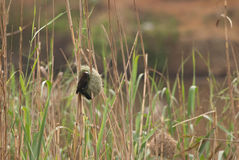 Weaver Nest And Reeds Stock Images.