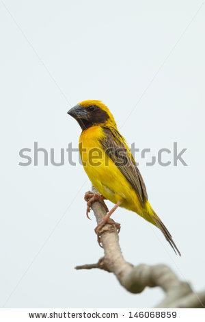Baya Weaver Bird Stock Photos, Royalty.