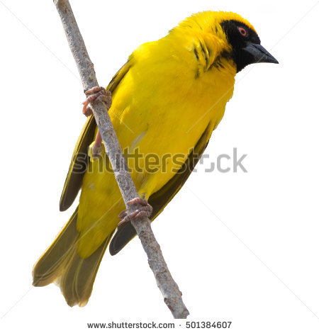 Weaver Bird Isolated Stock Photos, Royalty.