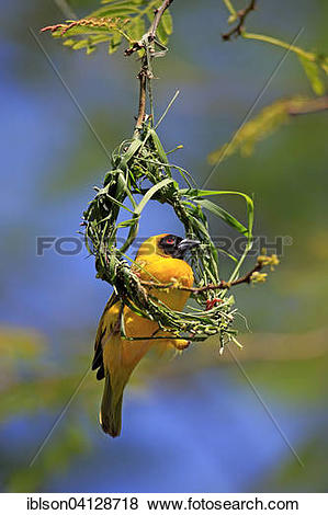 Pictures of Southern Masked Weaver (Ploceus velatus), adult male.