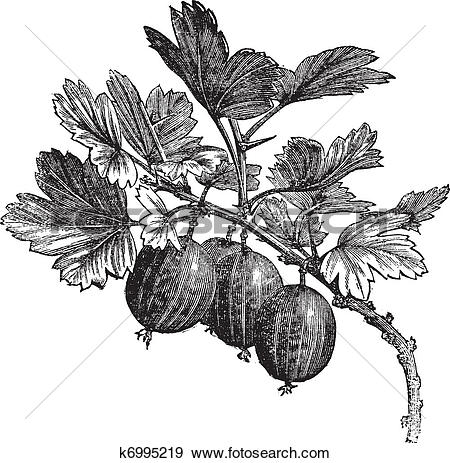 Clip Art of Gooseberry (Ribes grossularia) vintage engraving.