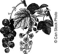 EPS Vectors of Gooseberry (Ribes grossularia) vintage engraving.