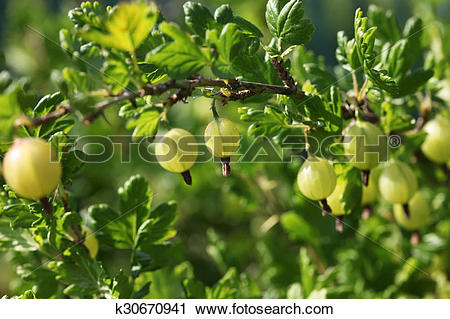 Stock Photography of Green gooseberries on the bush. Grossularia.