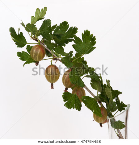 """ribes Grossularia"" Stock Photos, Royalty."
