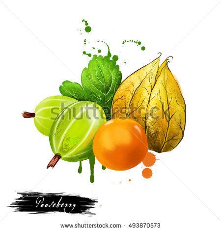 Ribes Uva.