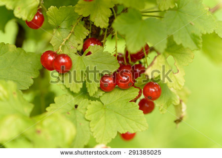 Ribes Currant Fresh Red Rubrum Stock Photos, Royalty.