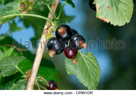 Ribes Stock Photos & Ribes Stock Images.