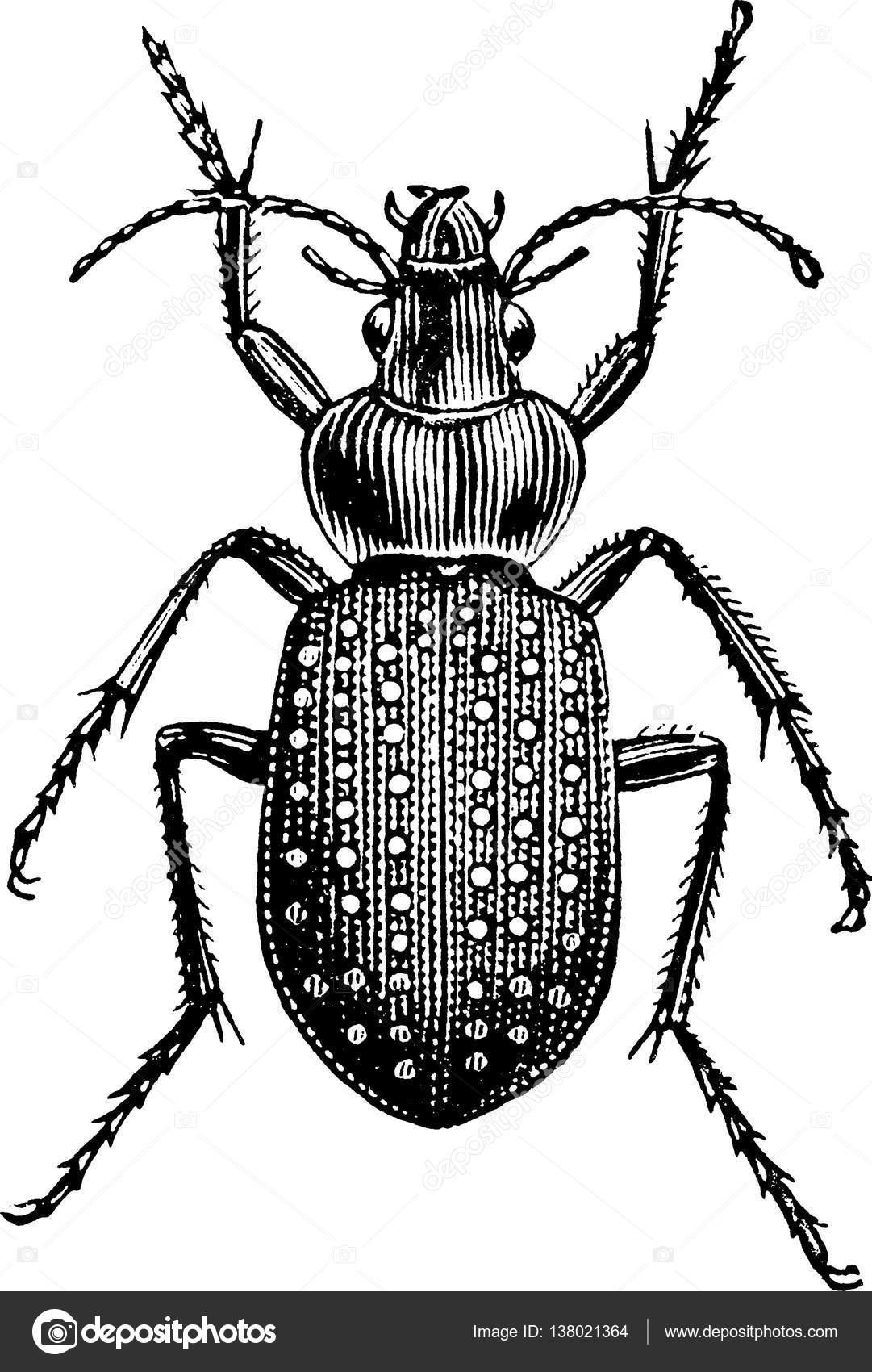 Ground beetles clipart #9