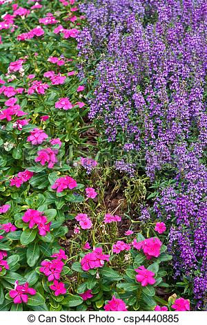 Stock Images of Pink and Purple Ground Cover Flowers.