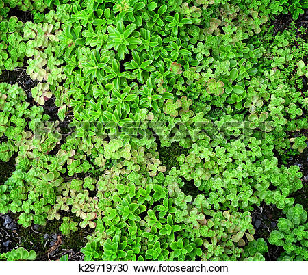 Stock Photography of Ground Cover Succulents k29719730.
