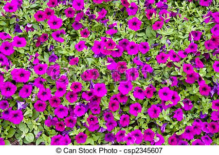 Picture of Purple Flowers in Ground Cover.