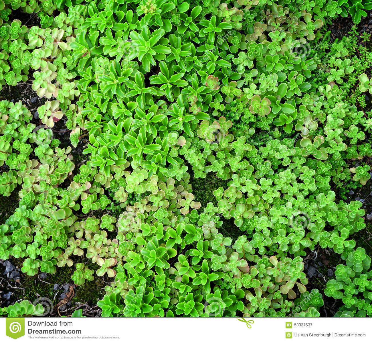 Ground Cover Succulents Stock Photo.