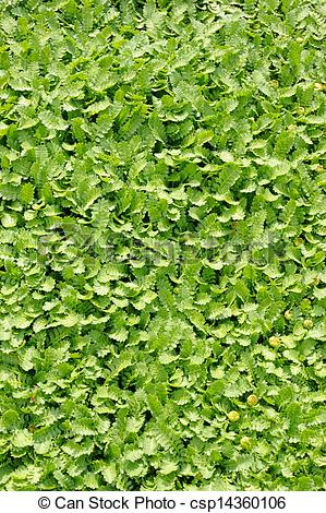 Stock Photography of Groundcover plant, decorative texture in the.