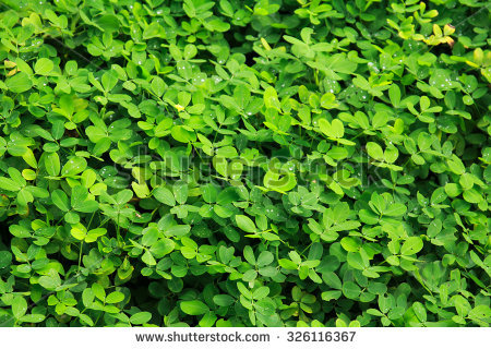 Free Pinto peanut is a ground cover plant Photos.