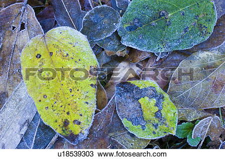 Stock Photo of Leaves on ground covered in frost u18539303.