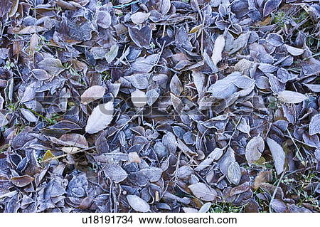 Stock Photo of Leaves on ground covered in frost u18191734.