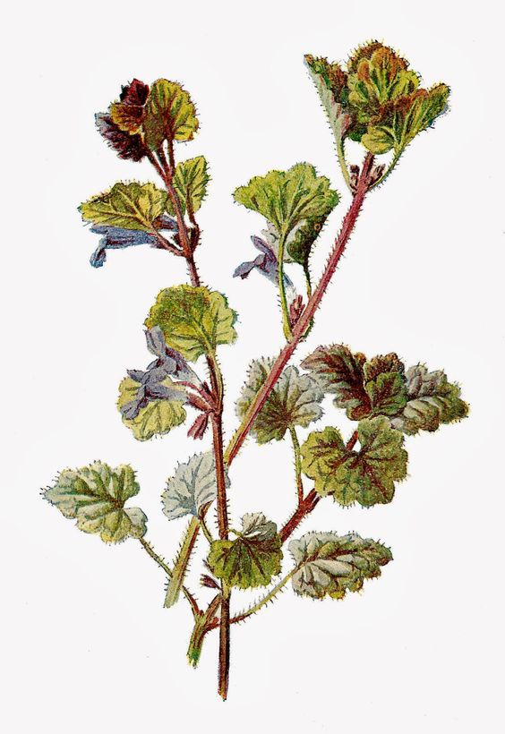Free Botanical Graphic: Flower Clip Art of Ground Ivy.