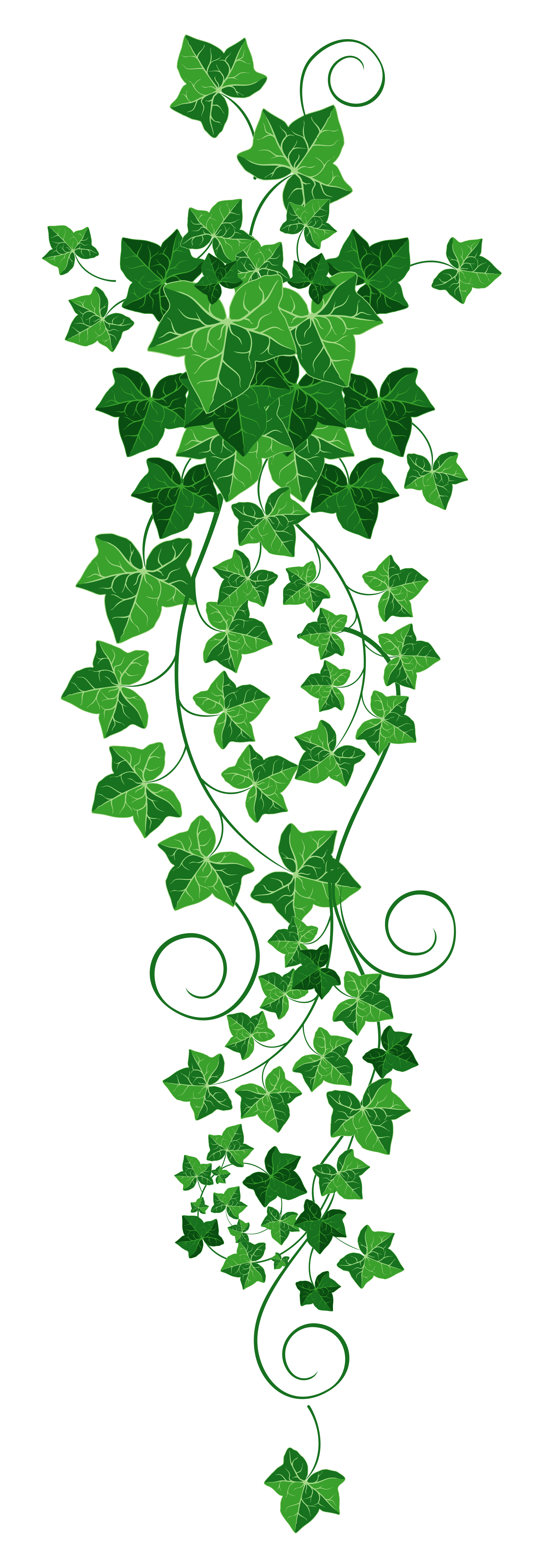Vine Ivy PNG Clipart Picture.
