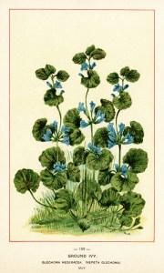 ground ivy image, botanical ivy illustration, vintage floral.