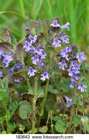 Stock Photo of Ground Ivy (Glechoma hederaceum), flowering plants.