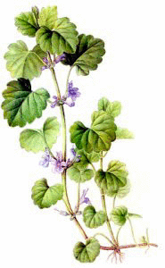 Ground Ivy Clip Art Download.