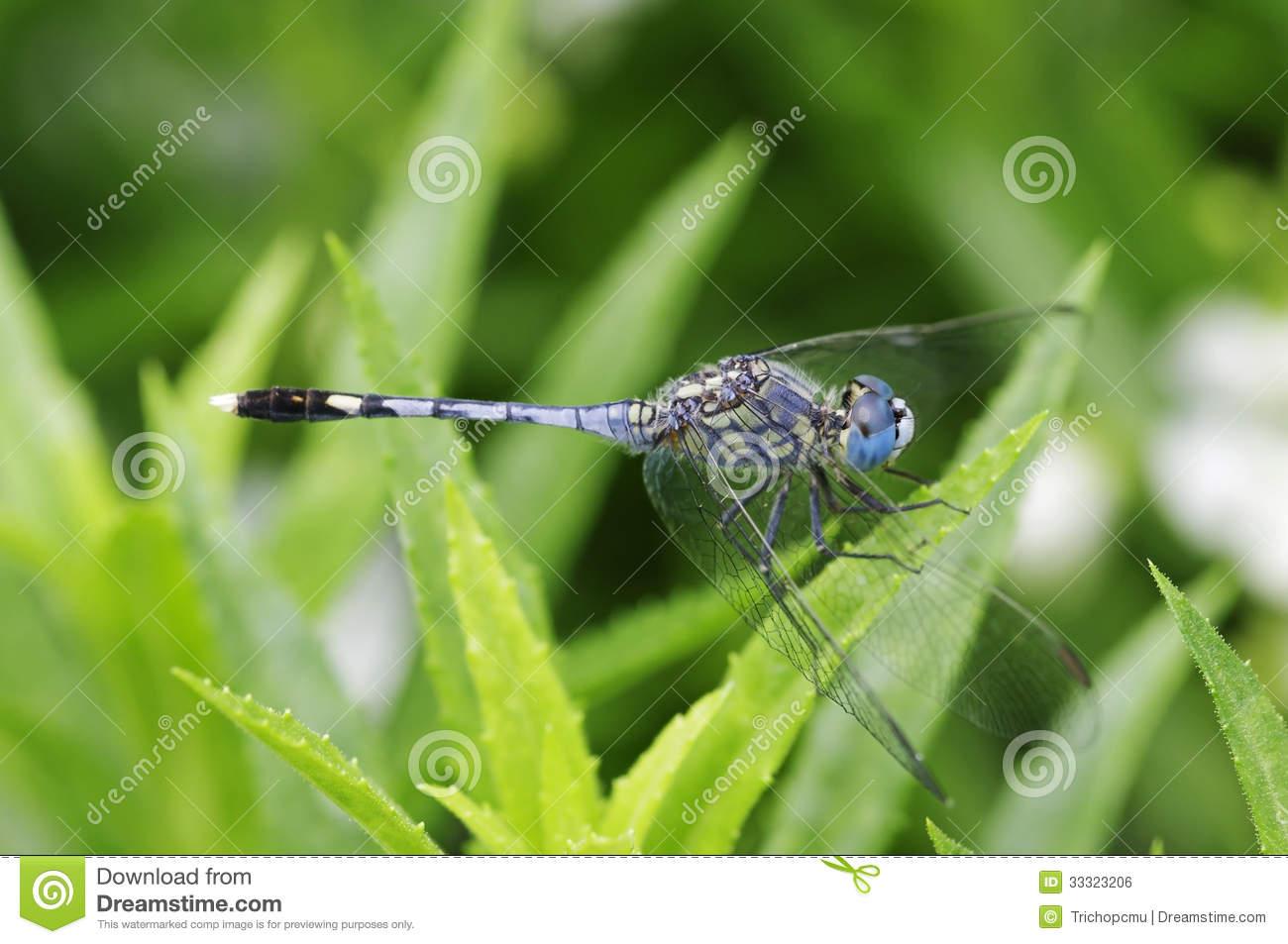 Ground Skimmer Dragonfly Royalty Free Stock Image.