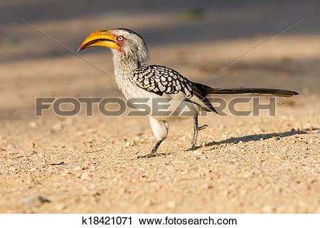 Stock Photography of Yellow billed hornbill walking on ground.
