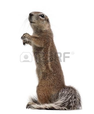 Grey Squirrel Stock Photos Images. Royalty Free Grey Squirrel.