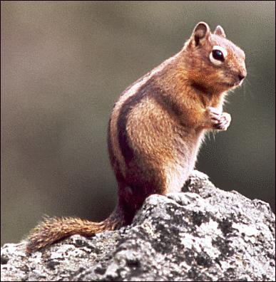 Golden Mantled Ground Squirrel Clip Art Download.