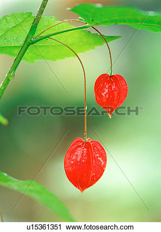 Stock Photography of ground cherry, nature, fruit, bladdercherry.