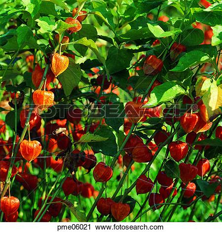 Stock Photography of corn, cereals, grain, ground cherry, ground.