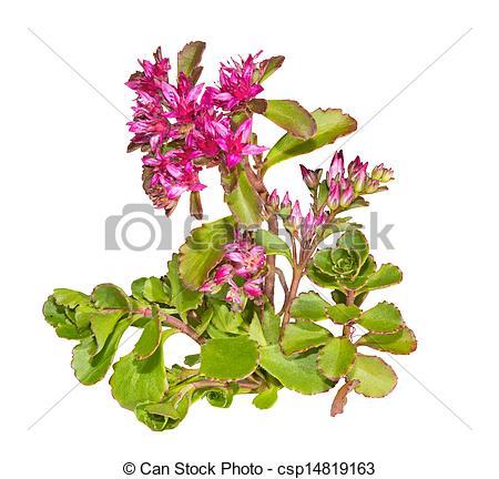 Stock Image of Sedum causticola plant with pink flowers.