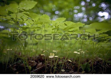 Stock Photography of Undergrowth In Forest Along The Bruce Trail.