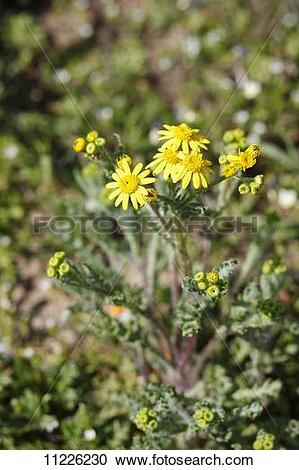 Stock Photography of Eastern groundsel (Senecio vernalis) 11226230.